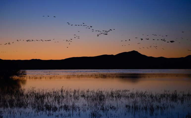 Sandhill cranes at Whitewater Draw Arizona at sunset