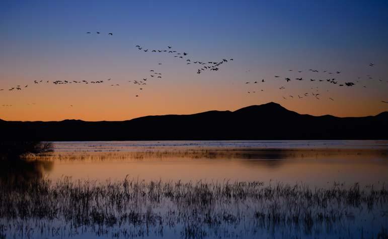 Sandhill cranes at Whitewater Draw Arizona at sunset