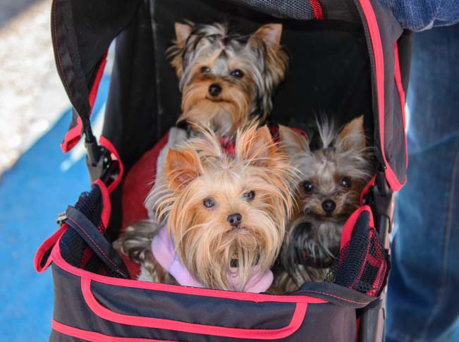 Dog triplets in a baby carriage in Quartzsite Arizona