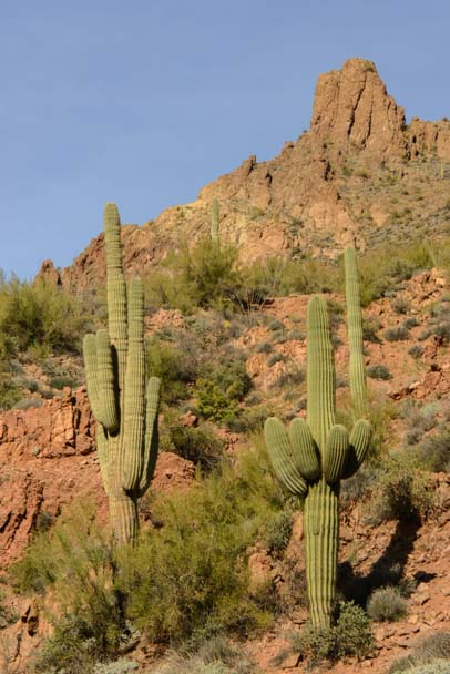 Saguaro cactus along the Apache Trail in Arizona