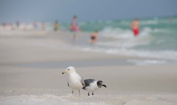 Seagulls at Pensacola Beach Florida