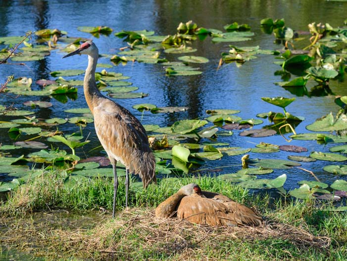 Pair of Sandhill Cranes with a nest