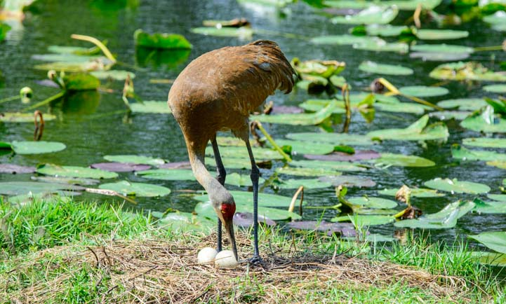 Sandhill crane checks eggs in nest Sarasota Florida