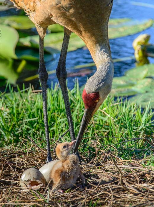 Sandhill crane with hatchling Sarasota Florida