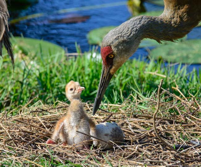 Newborn sandhill crane chick with mom