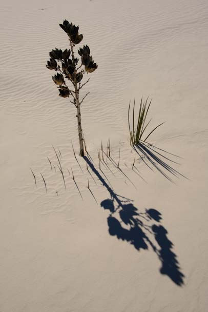 Plant and shadow in White Sands New Mexico