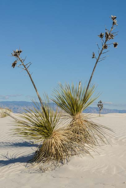 Desert plants in White Sands National Monument New Mexico