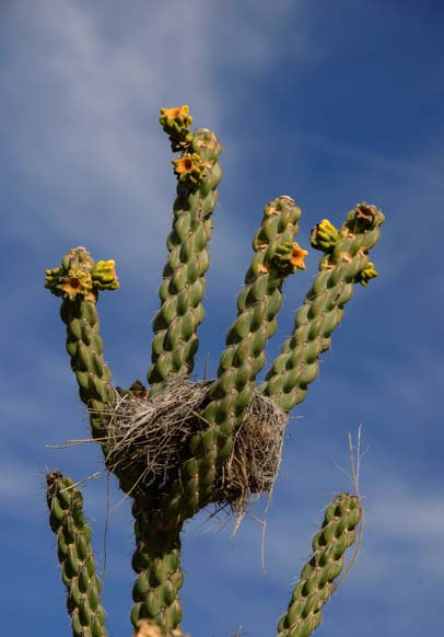 Bird nest in a cactus in Big Bend Texas