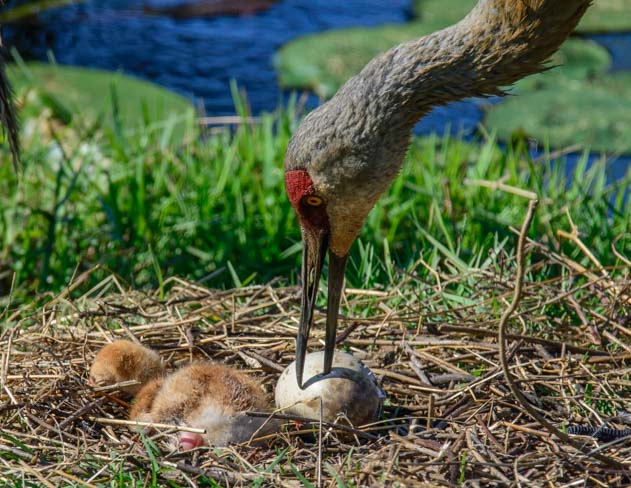 Sandhill crane helps chick hatch Sarasota Florida
