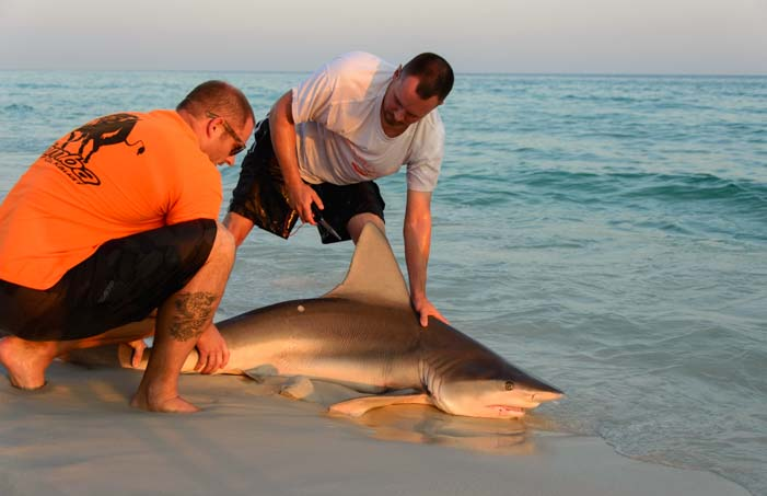 Releasing a shark back into the Gulf of Mexico Florida