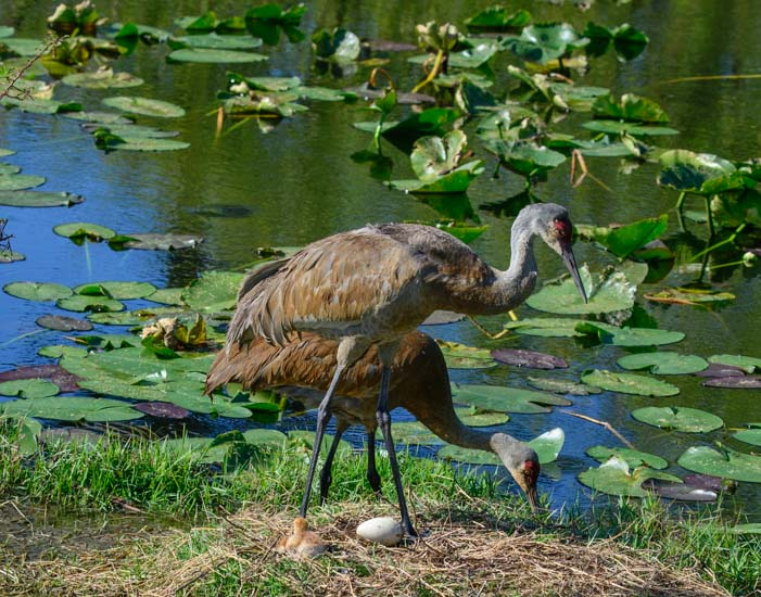 Sarasota Florida a pair of sandhill cranes with chick and egg in nest