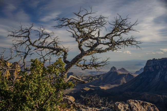 Tree at the top of Lost Mine Hike Big Bend Texas