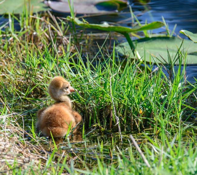 Two hour old sandhill chick by pond in Florida