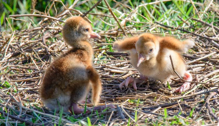 Two sandhill crane chicks just hatched in Sarasota Florida nest