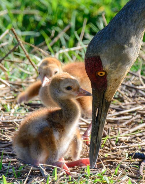 Mother sandhill crane with two babies in nest