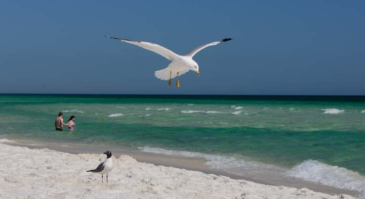 Seagull flies over Pensacola Beach in Florida