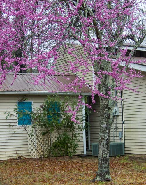 Redbud tree blooming in Livingston Texas