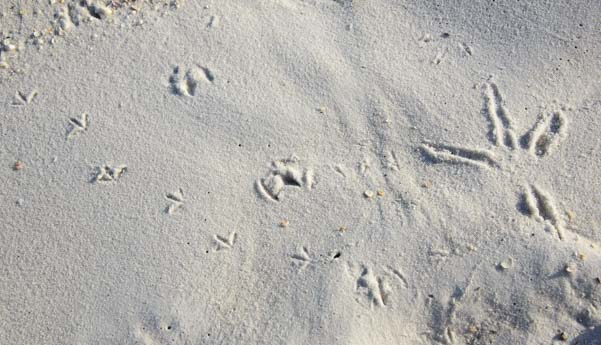 Bird tracks in white sand Gulf Islands National Seashore Florida