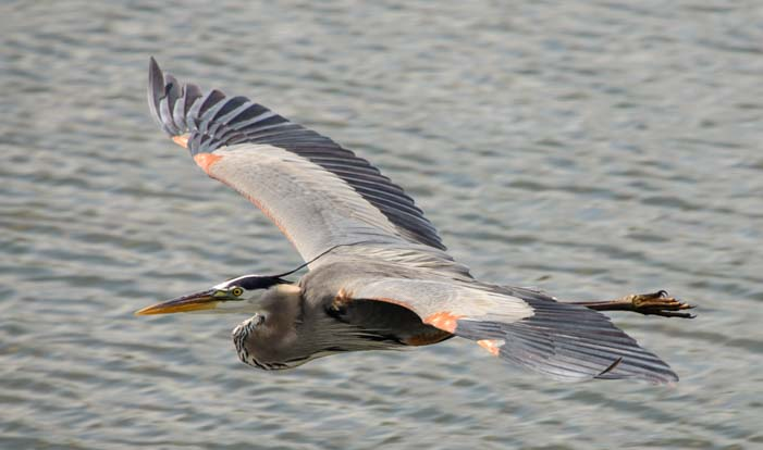 Heron flying over water