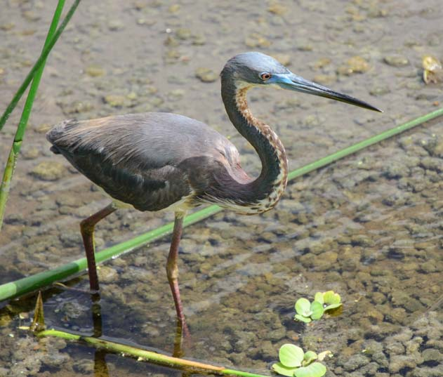 Heron walking in water_