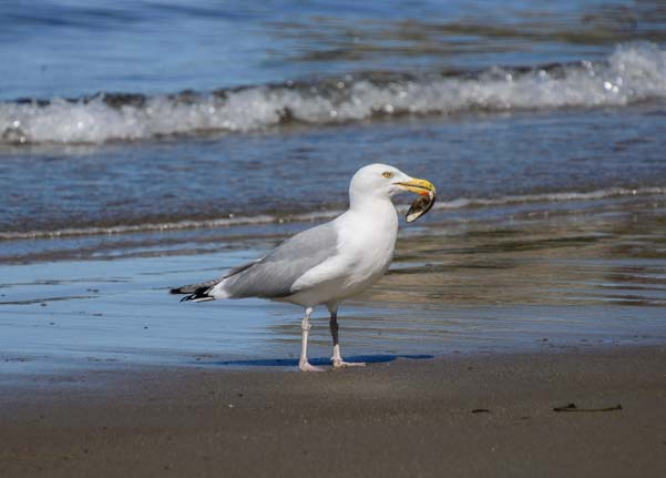 Seagull on Front Beach