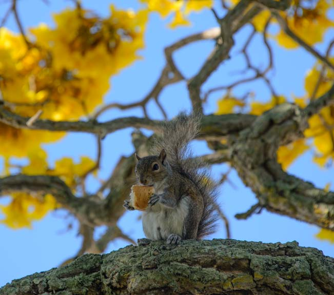 Squirrel eating bread in yellow flowers