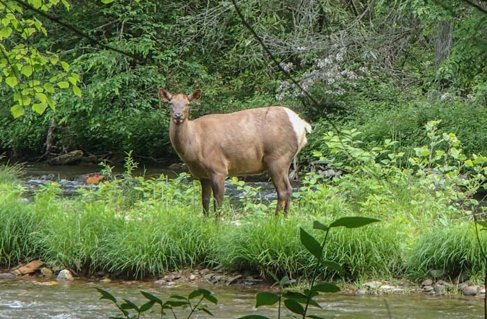 Elk in Great Smoky Mountains National Park North Carolina