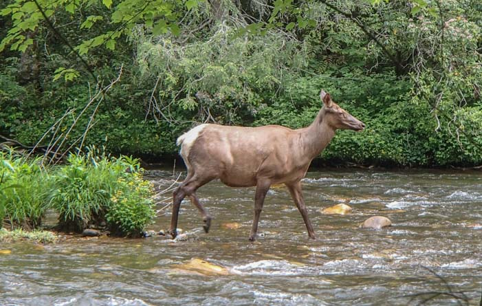 Elk in Oconaluftee River Great Smoky Mountains National Park