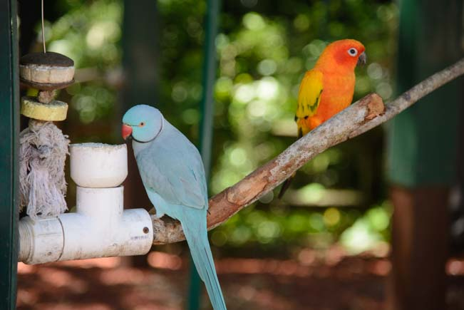 Ring Neck Parakeet and Conure at Jungle Gardens Sarasota Florida