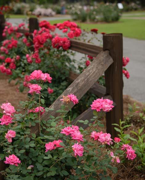 Thomasville Rose Garden Georgia