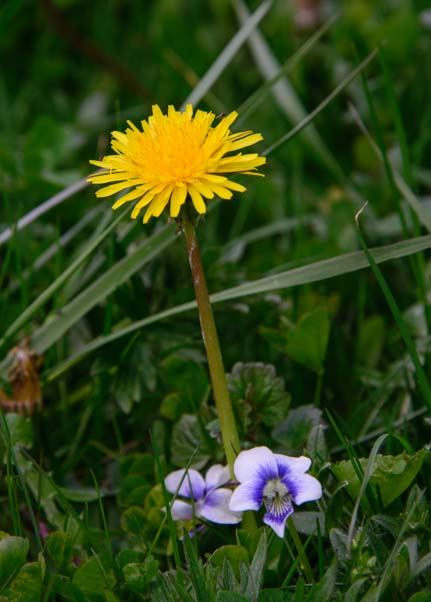 Dandelion and wildflower