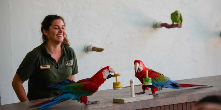 Two green wing macaws do ring toss at Jungle Gardens in Sarasota Florida