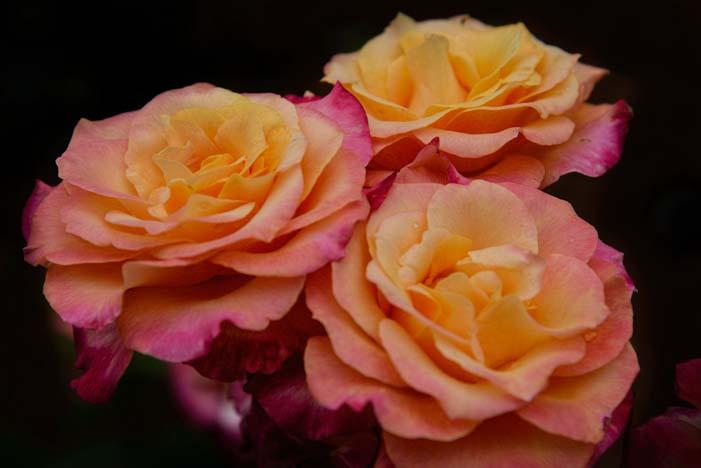 Roses in Thomasville Rose Garden Georgia
