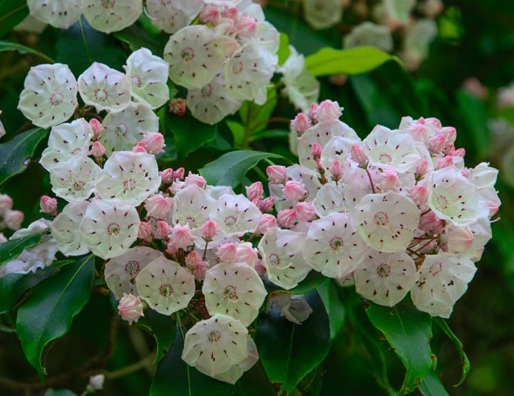 Mountain Laurel flowers Great Smoky Mountains National Park