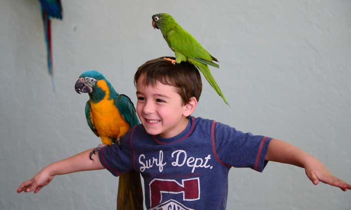 Little boy with two macaws on his head and arms