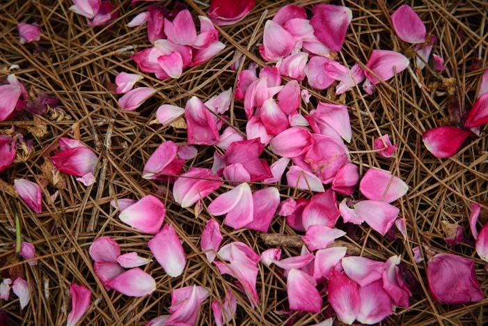 Rose petals in Thomasville Rose Garden Georgia