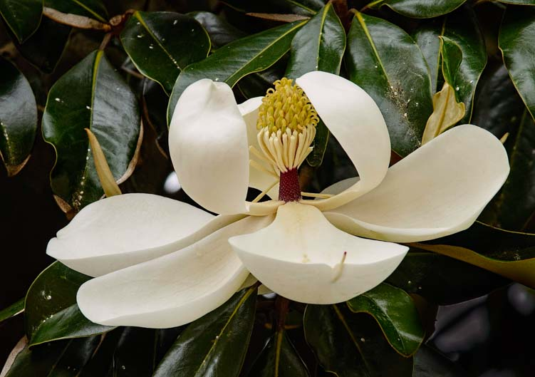 Blooming Magnolia flower blossom