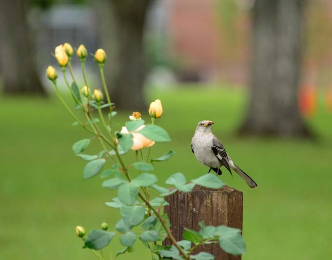 Songbird at Thomasville Rose Garden Georgia