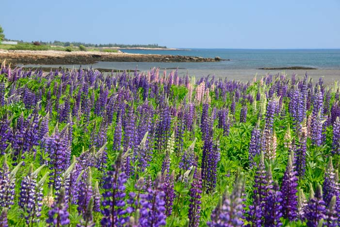 Lupine wildflowers overlooking the ocean