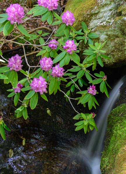 Rhododendrons Apple Orchard Falls Blue Ridge Parkway Virginia