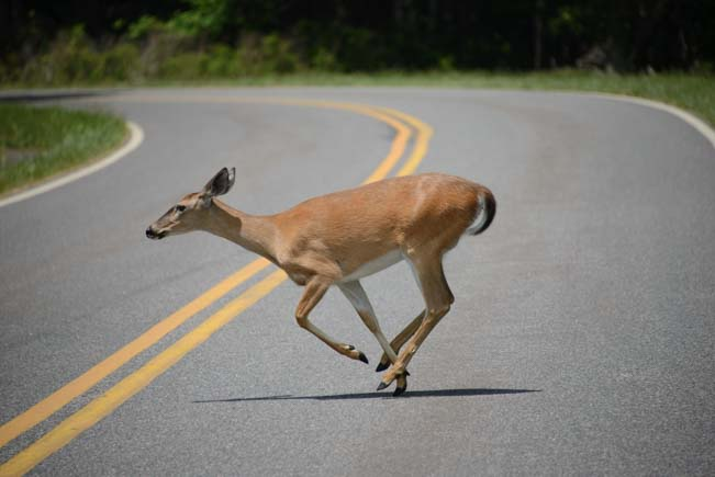 Deer crossing Skyline Drive in Shenandoah National Park