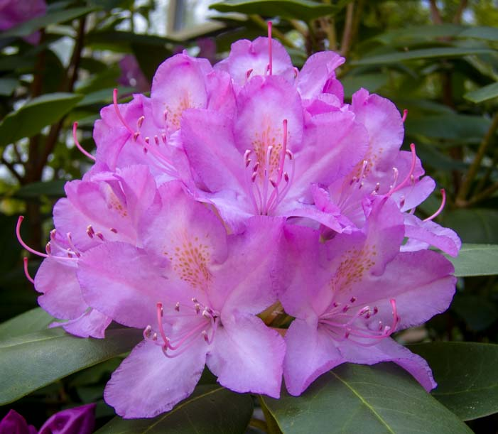07 701 Rhododendron blooming 6