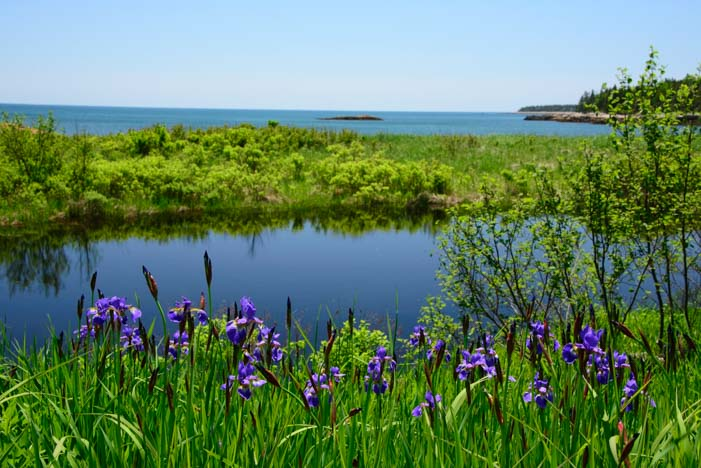 Wild irises northern Maine coast