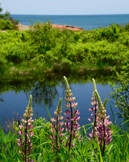 Wild lupine northern Maine coast