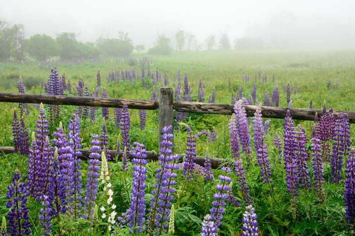 Wild lupine in the fog Mt. Desert Island Maine
