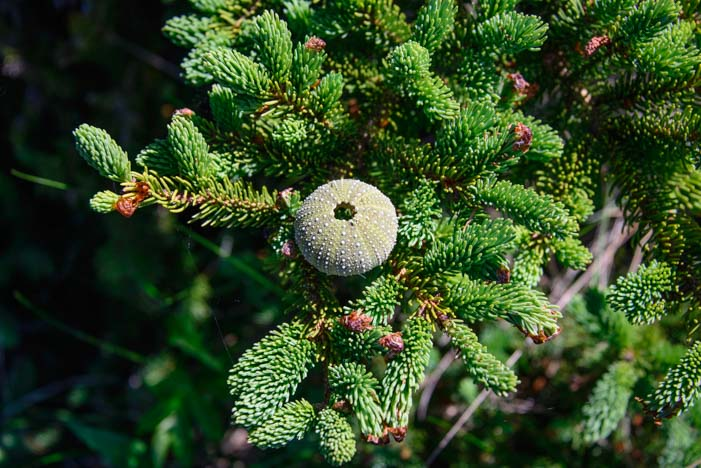 Sea urchin on spruce tree branch Campobello Island