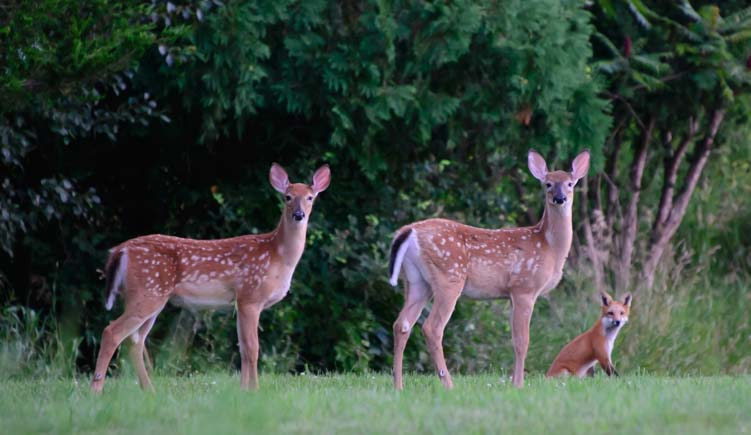 Fawns and fox Finger Lakes New York