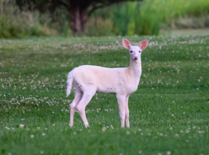 White deer of the Finger Lakes New York