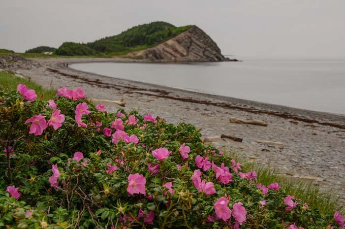 Beach roses Cape Breton Island Cabot Trail Nova Scotia