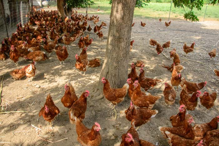 Cage free hens Amish farm Finger Lakes New York